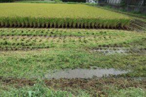 収穫 もち米